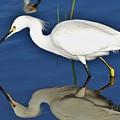 Snowy Egret Reflection by Julie Adair
