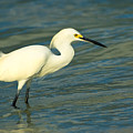 Snowy Egret by Rich Leighton
