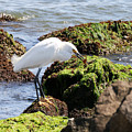Snowy Egret  Series 2  1 Of 3  The Catch by David Mayeau