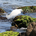 Snowy Egret  Series 2  2 Of 3  Preparing by David Mayeau