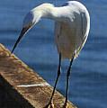 Snowy Egret That Minnow Will Be Fine by Tom Janca