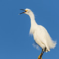 Snowy Egret With Attitude by Kathleen Bishop