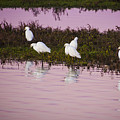 Snowy Egrets At Sunset by Rich Governali