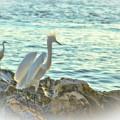 Snowy Egrets Contemplate by Ola Allen