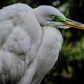 Snowy Egrets by Dawn Gari