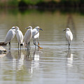 Snowy Egrets On Calm Water by Tony Hake