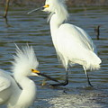 Snowy Egrets by Robert Frederick