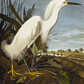 Snowy Heron by John James Audubon
