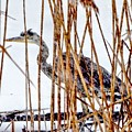 Snowy Heron? by Scott Hufford