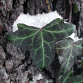 Snowy Ivy by Steven Scanlon