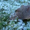 Snowy Leaf by Savanah Schafer