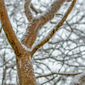 Snowy Myrtle by Keith Smith