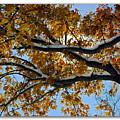 Snowy Oak by Brian Wallace