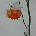 Snowy Orange Rose by Shirley Heyn