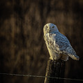 Snowy Owl 1 by Roger Monahan
