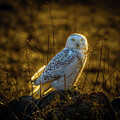 Snowy Owl 2 by Roger Monahan