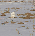 Snowy Owl 2016-9 by Thomas Young