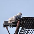 Snowy Owl 2959 by Joseph Marquis