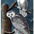 Snowy Owl Audubon Birds Of America 1st Edition 1840 Royal Octavo Plate 28 by Orchard Arts