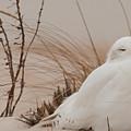 Snowy Owl by Bert Mailer