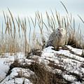 Snowy Owl In Dunes #2 by Sydney Jolivet