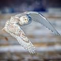 Snowy Owl In Flight- Salisbury Dunes by John Vose