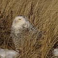 Snowy Owl In Grass by J R Sanders