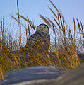 Snowy Owl In Nj by Raymond Salani III