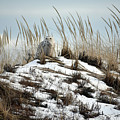 Snowy Owl In The Dunes by Sydney Jolivet