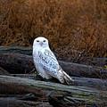 Snowy Owl On A Log by Sharon Talson