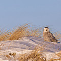 Snowy Owl On The Dunes by Dale J Martin