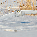 Snowy Owl On The Hunt by Dale J Martin