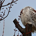 Snowy Owl Preening by Mark Madion