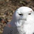Snowy Owl by Ronald Reid