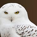 Snowy Owl by Steve Stuller