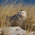 Snowy Owls On The Beach by J R Sanders