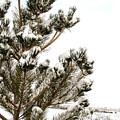 Snowy Pine by Julie Gropp
