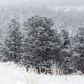 Snowy Pines In The Pike National Forest by Steve Krull