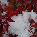 Snowy Red Maple by Shirley Heyn