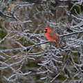 Snowy Red  by Vicky Tubb
