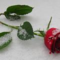 Richard's  Rose by Lori Pessin Lafargue