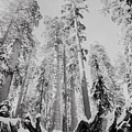 Snowy Sequoias At Calaveras Big Tree State Park Black And White 3 by Steven Jones