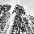 Snowy Sequoias At Calaveras Big Tree State Park Black And White 6 by Steven Jones