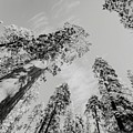 Snowy Sequoias At Calaveras Big Tree State Park Black And White 7 by Steven Jones