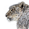 Snowy Snow Leopard by Wes and Dotty Weber