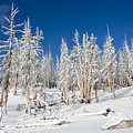 Snowy Trees by Kelley King