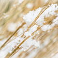 Snowy Weed by Delphimages Photo Creations