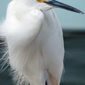 Snowy White Egret by Don West