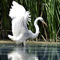 Snowy White Egret In The Wetlands by Elaine Plesser