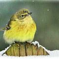 Snowy Yellow Warbler  by Ola Allen